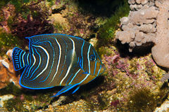 Koran Angelfish Royalty Free Stock Image