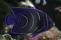 Koran angelfish. Pomacanthus semicirculatus is known under several different common names in English, including Koran Angelfish, Blue Koran Angelfish, Semicircle royalty free stock photography