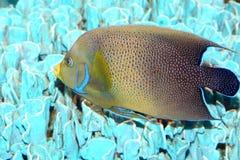Koran angelfish Στοκ Φωτογραφίες