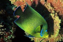 Koran angelfish Στοκ εικόνα με δικαίωμα ελεύθερης χρήσης