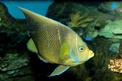 Koran Angelfish (Pomacanthus semicirculatus). In Aquarium royalty free stock photo