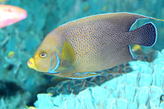 Koran angelfish Royalty Free Stock Photo