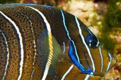 Koran Angelfish Portrait. Koran Angelfish (Pomacanthus semicirculatus) Portrait in Aquarium royalty free stock images