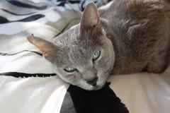 Korat cat Stock Photo