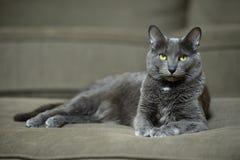 Korat Cat Laying Imagen de archivo