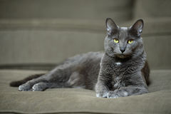 Korat Cat Laying Stock Image