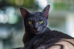 Korat cat Stock Photos