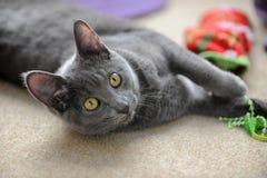 Korat Cat Playing Royalty Free Stock Images