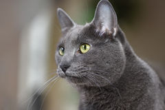 Korat Cat Royalty Free Stock Photos