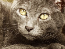 Korat cat. Portrate of a Korat cat Stock Photos