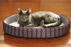 Korat Cat Resting on Bed Stock Photos