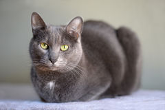 Korat Cat Resting Royalty Free Stock Photo