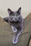 Korat Cat Resting no sofá Fotografia de Stock