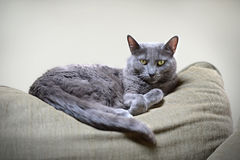 Korat Cat Resting Stock Image