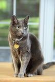 Korat Cat Sitting sur le Tableau Photographie stock