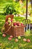Korb der Äpfel mit Heugabel Stockbild