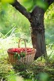 Korb der Kirschen stockfotos