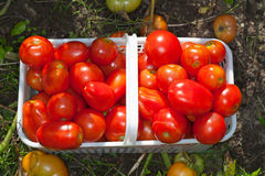 Korb der reifen Feld-Tomaten Stockfoto