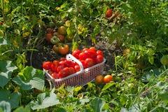 Korb der reifen Feld-Tomaten im Garten Stockfotografie