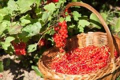 Korb der roten Johannisbeeren Stockfotos