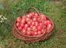 Korb füllte mit Tomaten Stockbilder