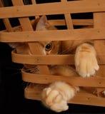 Korb-Katze 2 Lizenzfreie Stockbilder