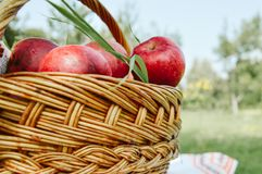 Korb mit Äpfeln im Garten lizenzfreie stockfotos