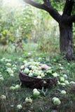 Korb mit Äpfeln unter dem Baum Stockfoto