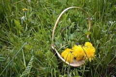Korb mit Löwenzahn auf dem Gras Stockfoto