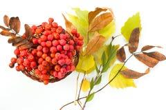 Korb mit Niederlassungen der Eberesche und des Herbstlaubs Stockbild