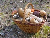 Korb mit Pilzen in einem Kiefernwald auf der Koniferensänfte Lizenzfreie Stockfotos