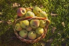 Korb von Äpfeln auf dem Gras, Ansicht von oben stockbild