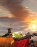 Korb von bunten Tulpen gegen niederländische Windmühlen in Zaanse Schans, Amsterdam, Holland Stockbild