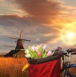 Korb von bunten Tulpen gegen niederländische Windmühlen in Zaanse Schans, Amsterdam, Holland Lizenzfreies Stockbild