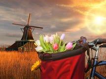 Korb von bunten Tulpen gegen niederländische Windmühlen in Zaanse Schans, Amsterdam, Holland Stockfoto