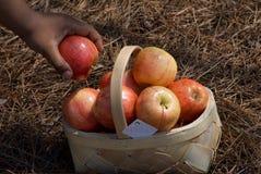 Korb von frischem pflücken Äpfel mit der Hand lizenzfreie stockbilder