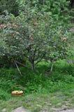 Korb von grünen Äpfeln ist im Gras unter dem Apfelbaum Stockbild