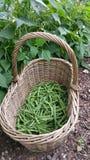 Korb von grünen Bohnen im Garten Stockfotografie