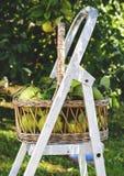 Korb von Quitten im Garten stockbilder