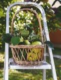Korb von Quitten im Garten lizenzfreie stockfotos