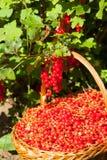 Korb von roten Johannisbeeren Lizenzfreies Stockbild
