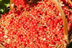 Korb von roten Johannisbeeren Lizenzfreie Stockfotos