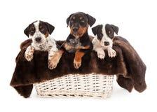 Korb von Rottweiler mischte Zucht-Welpen Stockfoto