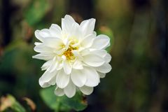 Korbblütlerchrysanthemenblume stockfoto