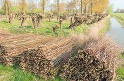 Korbweiden und Pollardweidenbäume Lizenzfreie Stockfotos
