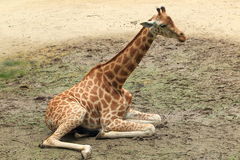 Kordofan giraffe Stock Photo