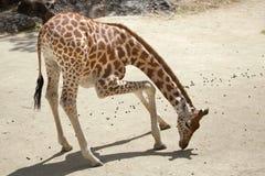 Kordofan giraffe Giraffa camelopardalis antiquorum. Also known as the Central African giraffe. Wildlife animal Stock Images