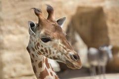 Kordofan giraffe Giraffa camelopardalis antiquorum Royalty Free Stock Photos