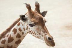 Kordofan giraffe Giraffa camelopardalis antiquorum Stock Photo