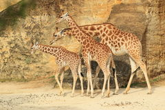 Kordofan giraffe Royalty Free Stock Images